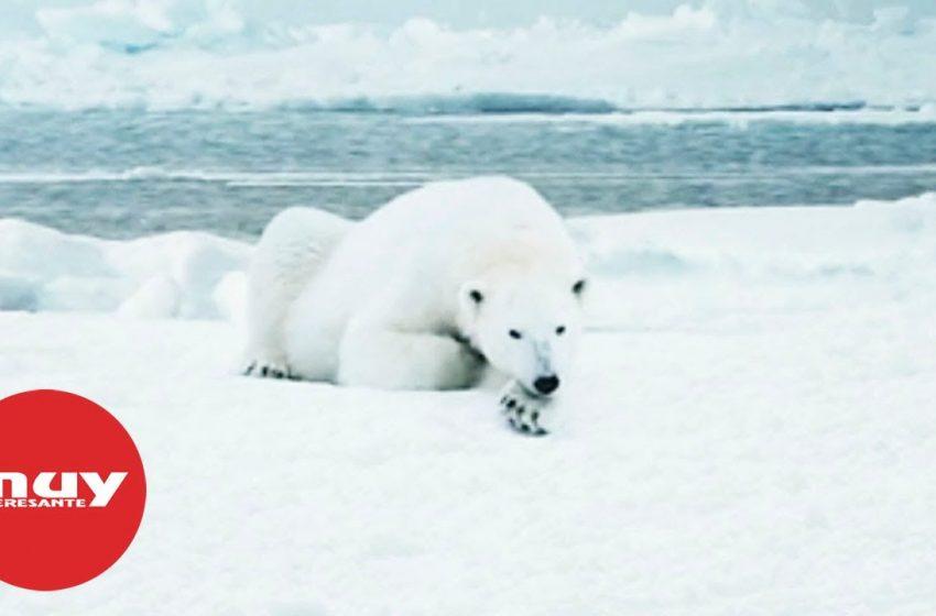 Los osos polares podrían extinguirse a finales de siglo
