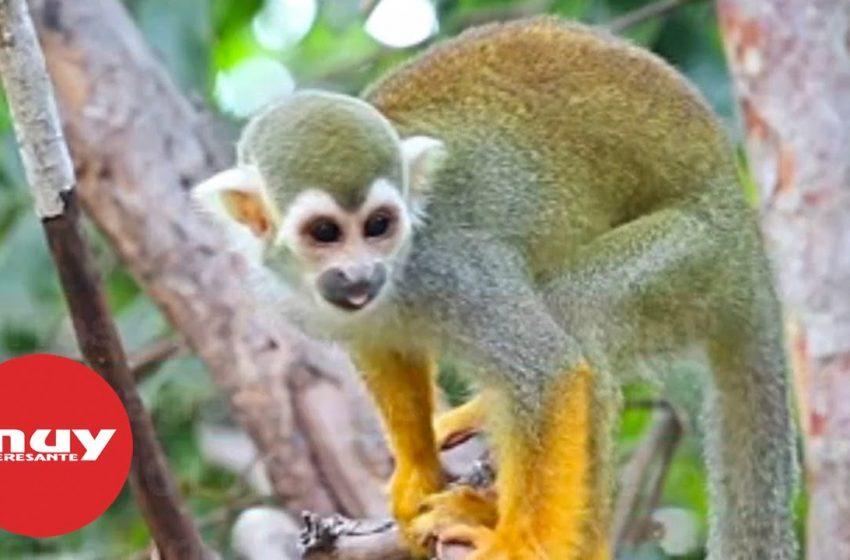Agrandan el cerebro de monos con la ayuda de un gen humano