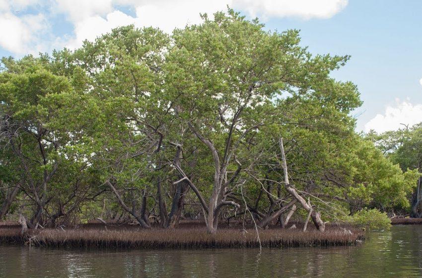 Los manglares no sobrevivirán a la subida del nivel del mar para el 2050