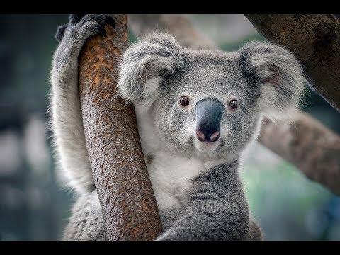 Cómo beben agua los koalas