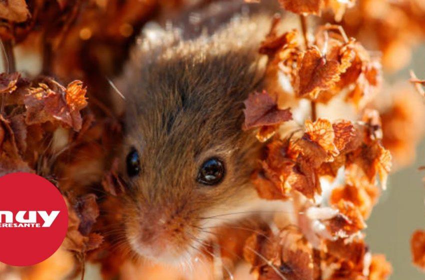 Logran curar la diabetes en ratones con células madre humanas