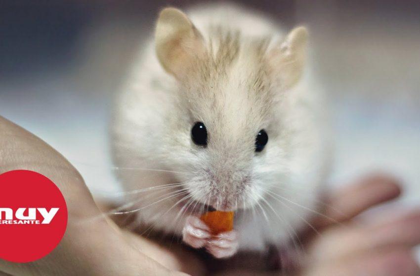 Confirmado en ratones: el estrés provoca canas