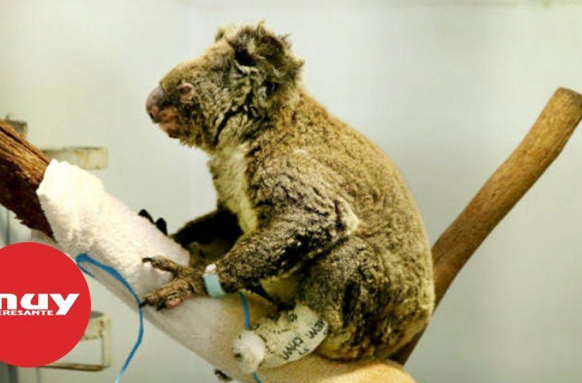 800 millones de animales afectados por los incendios de Australia