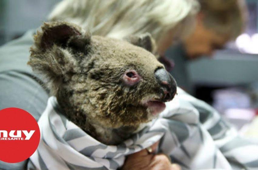Cómo ayudar a los animales afectados por los incendios de Australia