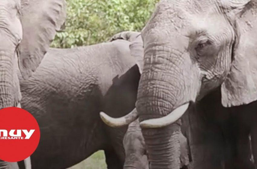 La población de elefantes está desapareciendo a un ritmo alarmante en África