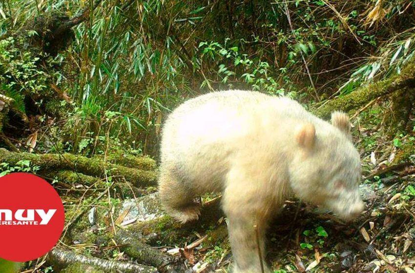 Fotografían por primera vez un oso albino