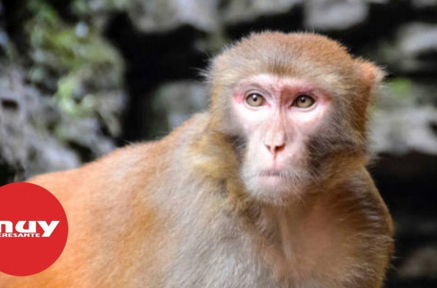 Científicos implantan genes humanos en monos rhesus