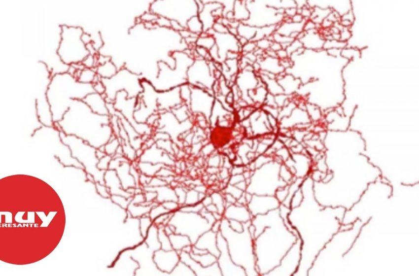 Científicos descubren una nueva 'neurona rosa mosqueta'