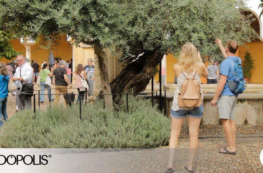 El famoso olivo del Patio de los Naranjos de Córdoba acaba de cumplir 280 años de vida. Se retuerce por el dolor y tambi…