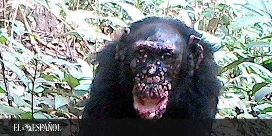 Confirman por primera vez varios casos de lepra en chimpancés salvajes …